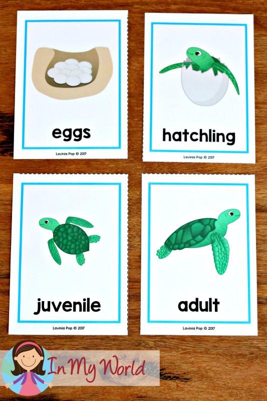 Ocean Preschool Centers life cycle of a sea turtle